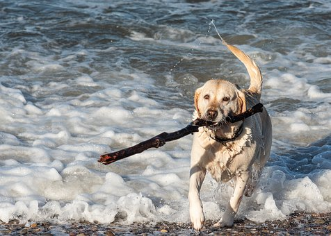 Labrador Handboek Review. Foto van Labrador in de branding