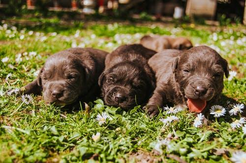 Labradoodle Puppies. Foto van 3 puppies in het gras