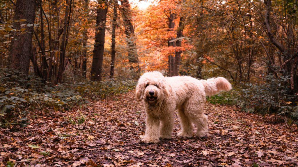 Vachtverzorging Labradoodle. Foto van hond in bos.