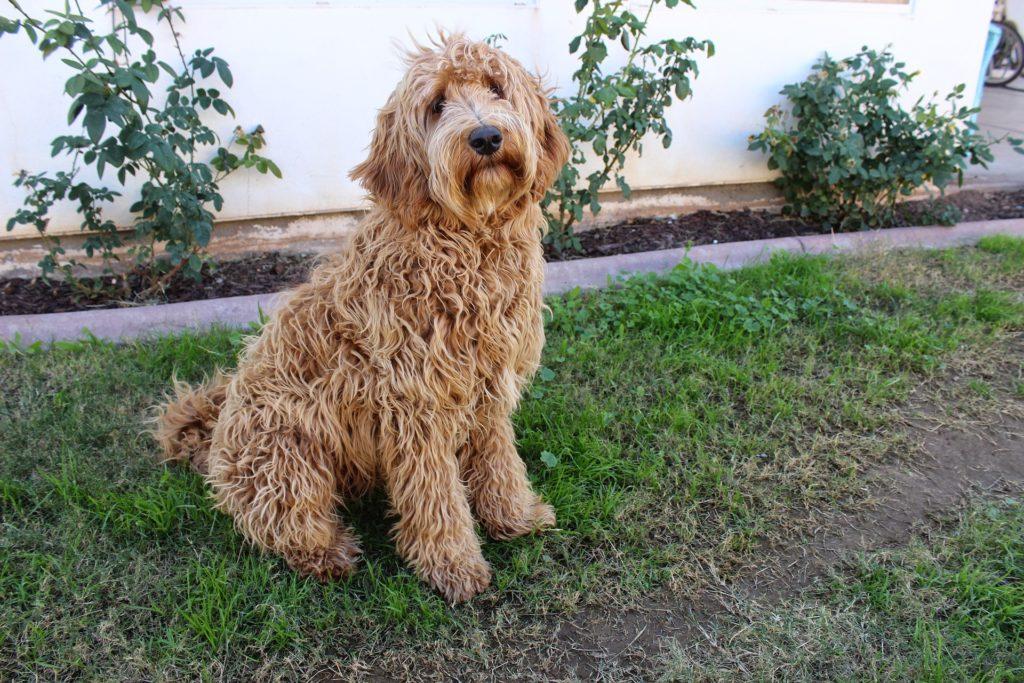 Foto van een bruine labradoodle die in de graskant zit