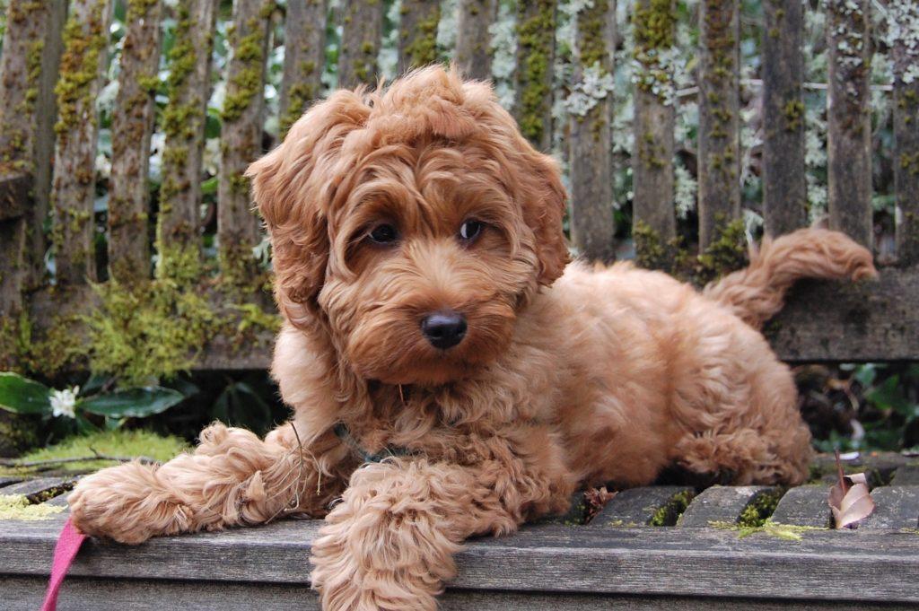 Wat kost een Labradoodle? Foto van een labradoodle pup op een bank.