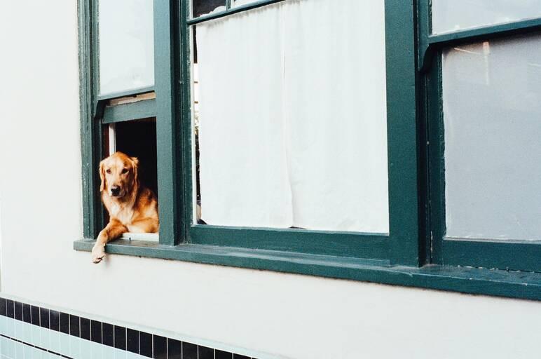 Labrador geheimen review. Foto van hond die uit het raam kijkt.
