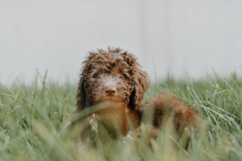 Wat is een labradoodle? Foto van een bruine Labradoodle ie in het gras ligt.