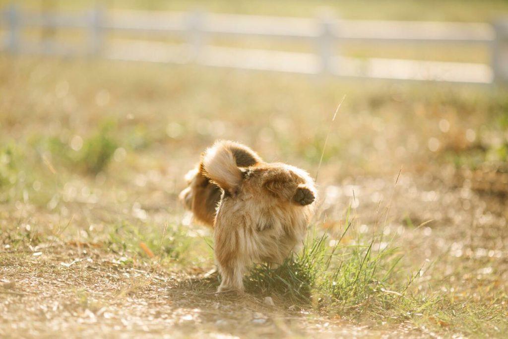 Labradoodle puppies kopen. Foto van plassende hond met poot omhoog